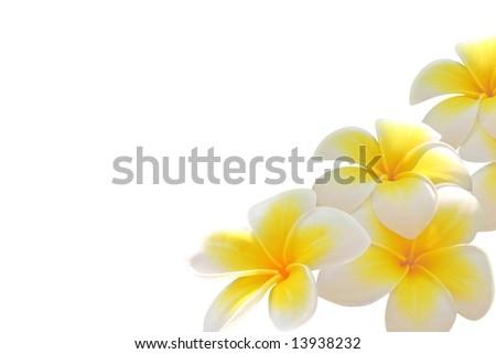 Frangipani flowers isolated on white
