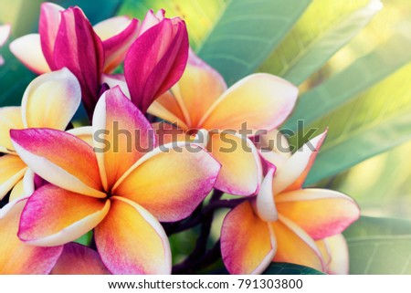 Frangipani flowers on a frangipani tree colors in the color vintage.
