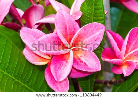 Frangipani flowers or Pink flowers
