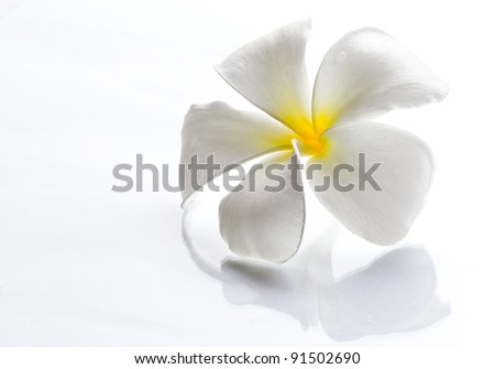 Frangipani flowers white with a light day on a white background