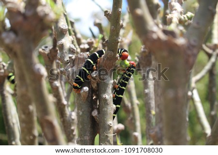 Frangipani Hornworms or also known as Rasta caterpillars defoliating trees in Martinique