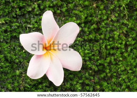 frangipani on green moss