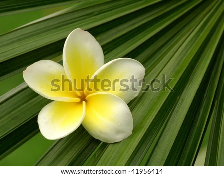 Frangipani on palm leaf