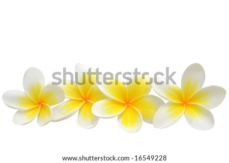 Frangipani (plumeria) flowers isolated on white