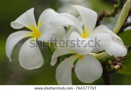 Free photos yellow flower 5 petals avopix frangipani plumeria is a white flower with yellow pollen at the center of five mightylinksfo