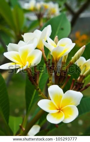 Frangipani, Plumeria, Templetree,Thai flower - stock photo
