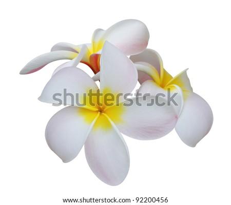 Frangipani (plumeria) tropical flowers isolated on white background