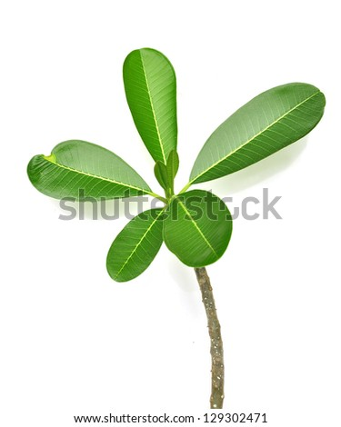 Frangipani tree, isolated on white background