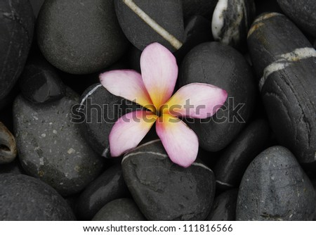 frangipani with zen stones background
