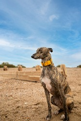 Frankie the brindle lurcher crossbreed relaxing on goring beach. A lurcher is a type of sighthound which is cross between a greyhound or whippet and another breed of dog.