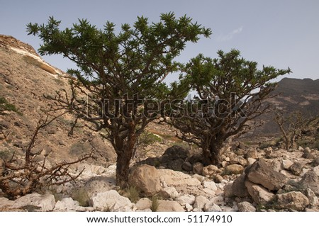 Frankincense tree in Dhofar mountain, Oman