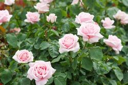 Frederic Mistral - hybrid tea rose