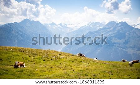 Photo of  Free Cows Enjoying the Sun