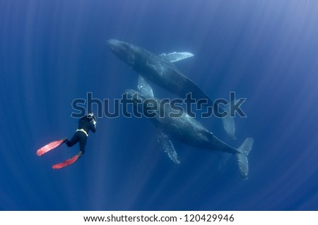 Free diver interacting with humpback whales off Mexico's Baja peninsula