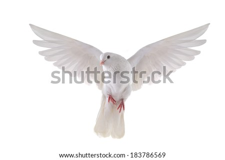 Photo of  free flying white dove isolated on a white background