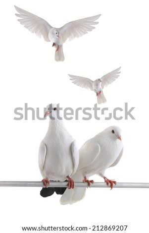 free flying white dove isolated on a white background