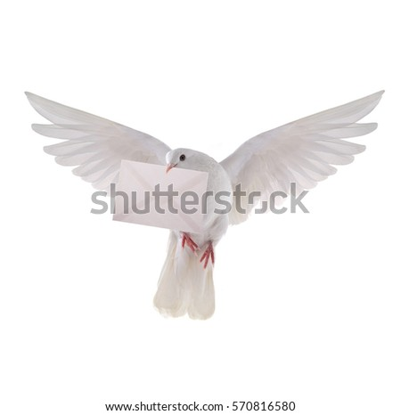 free flying white pigeon with the letter isolated on a white background #570816580