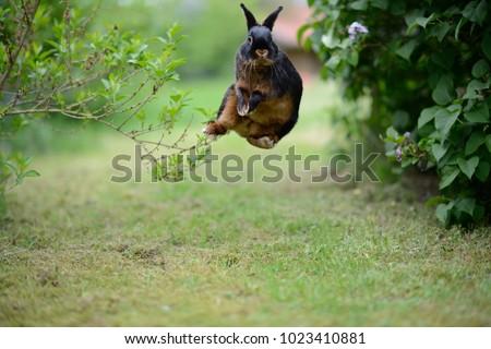 free german rabbit happily bock jumping in green garden between bushes, European Animals