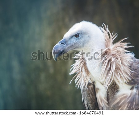 free griffon vulture in its habitat Foto stock ©