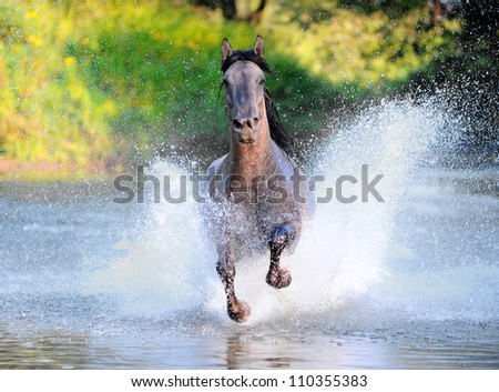free horse runs trough the splashes of water
