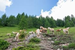 Free horses in the Italian mountains, Haflinger horses in the Dolomites of Trentino Alto Adige
