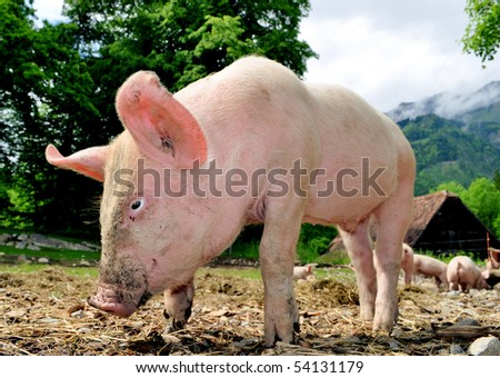 Free living small pigs in a rural landscape