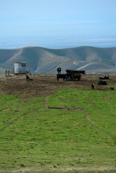 Free range cattle are grouped in the foothills of the Sierra Nevada Range in Central California.