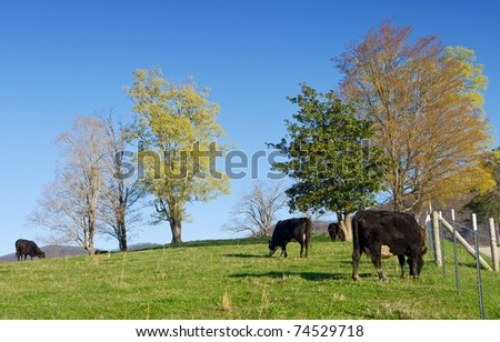 Free range cattle grazing