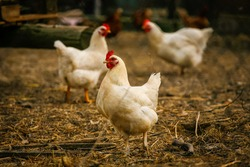 Free range chicken on a traditional poultry farm