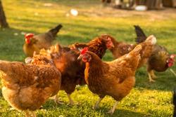 Free-range chicken on an organic farm