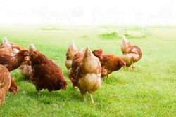 Free-range chicken on an organic farm, freely grazing on a meadow. Organic farming, animal rights, back to nature concept.