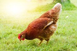 Free range chickens on a lawn pecking the ground outside a farm