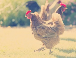 Free range chickens roam the yard on a small farm with Instagram style filter