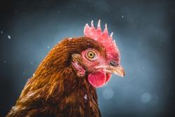 Free Range Domestic Rustic Eggs Chicken Portrait, Hen Outside during Winter Storm.