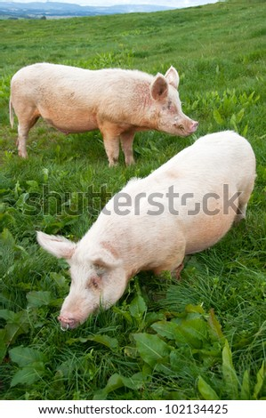 free range large white pigs boar and sow grazing in paddock
