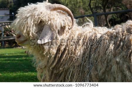 Free range mohair goat