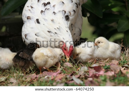 Free range mother hen with her chickens showing them where to find the food