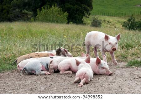 Free range piglets resting in the paddock
