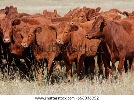 Free-range red angus cattle on pasture, Argentina