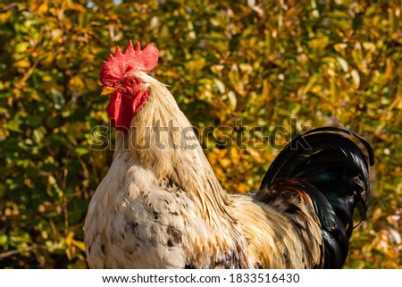 free range rooster portrait at golden hour against blurry green leaves bushes background Foto d'archivio ©
