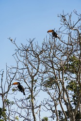 Free toucans in the wild. On top of the tree branches on a sunny day. Mountain region of Rio de Janeiro, Brazil.