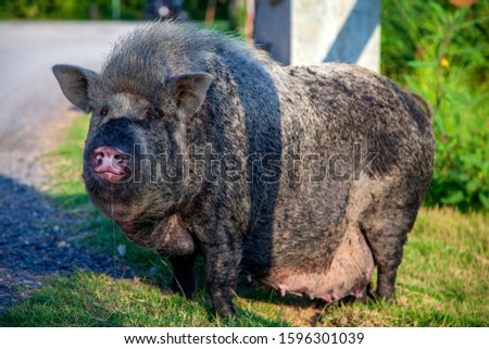 Free walk in nature. Home improvement is a big black pig. Pig breeding is involved in raising and raising domestic pigs.