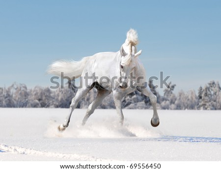 free white horse in winter background