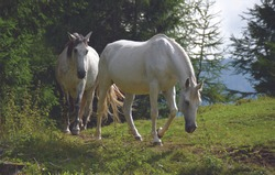 Free white horses in the splendid atmosphere of the Dolomites