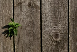 freedom.desire for freedom.a green sprout sprouted through the fence.close up.wooden fence.copy space.