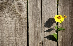 freedom.desire for freedom.a yellow flower sprouted through the fence.close up.wooden fence