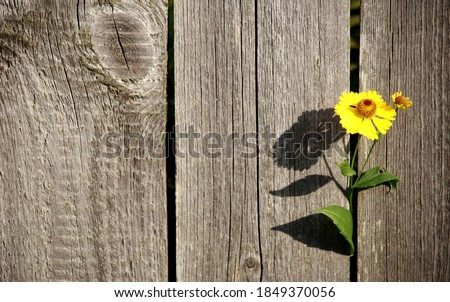 freedom.desire for freedom.a yellow flower sprouted through the fence.close up.wooden fence Stock photo ©