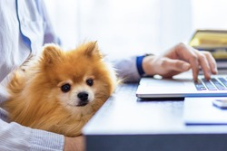 Freelancer man, bisnessman with his friendly pomeranian spitz using laptop at remote home office. owner and loyal dog together. pet adoption. closeup