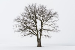 Freestanding tree in winter