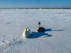 Freezing on the ice of the Riga Bay swans in the winter .